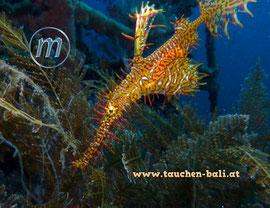 Geisterpfeifenfisch, Ornate Ghost Pipefish, Solensotomus paradoxus