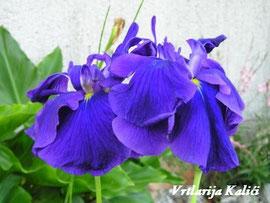 """Iris ensata """"Rampo"""""""