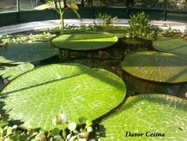 Odrasla biljka Victorije u zagrebačkom botaničkom vrtu.