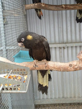Zwarte geelstaart kaketoe