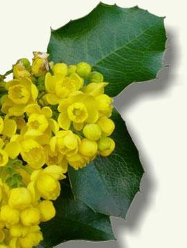 Flores y hojas de la Uva de Oregón