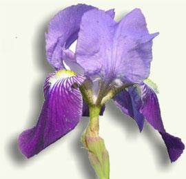 Flor de Iris germanica o Lirio