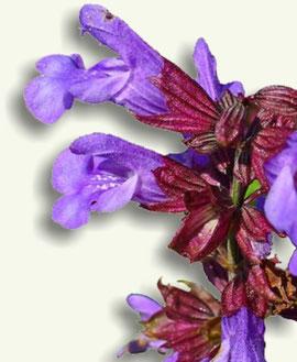Flor de la Salvia