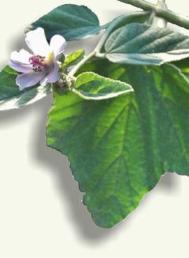 Hojas y flor del Mavavisco