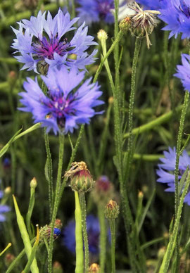 Campo de flores de Aciano