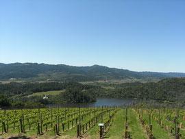 このブドウ畑からワインができます。