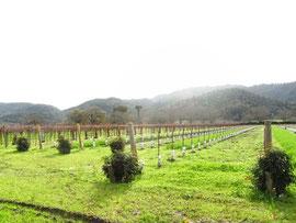 ダダだーっと広い、パラダイムのブドウ畑