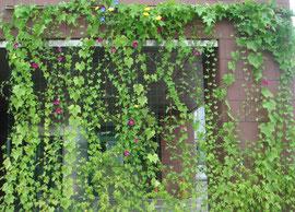壁面緑化 夏の遮熱には効果的です