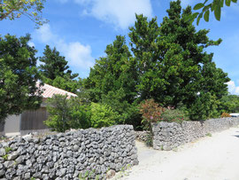 敷地を囲っているフクギ 手前の低い木はチャーギ