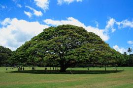 ハワイのモンキーポッドの木