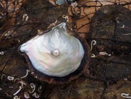 どんな真珠が出てくるかは、貝を開けてみるまでのお楽しみ