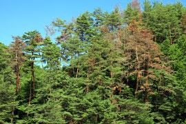 松枯れしたアカマツ林。夏なのに紅葉したように見える