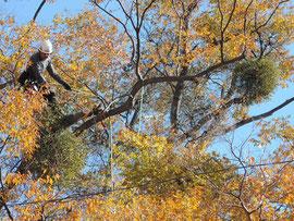 高い木に登りヤドリギを取り除く技術者。緑の球がヤドリギだ