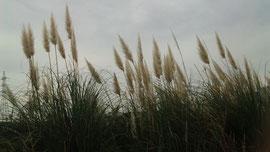風になびくすすきの穂