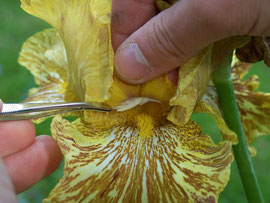 4. Transfering pollen - Wiping pollen of one iris on stigma of another iris - iriszucht.de