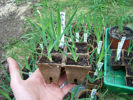15. Pricking - Take the seedlings out of the vermiculite, when they are 2cm (0,8in) tall - iriszucht.de