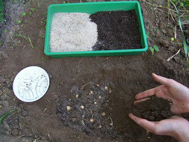 10. Zwiebeln bedecken - Denken Sie auch dabei an gute Drainage - iriszucht.de