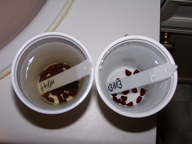 5. Changing the water - On the left side a cup after one day, on the right a side cup with fresh water - iriszucht.de