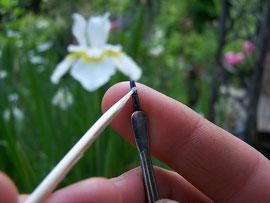 4. Anthere entnehmen - Pollenentnahme bei einer Schwertlilie - iriszucht.de