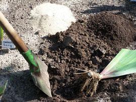 8. Boden vorbereiten - Amelioration der Erde für Schwertlilien mit Sand und Kompost - iriszucht.de