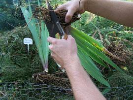 6. Wurzeln einkürzen - Anschneiden der Schwertlilienwurzeln zur Anregung neuen Wurzelwachstums - iriszucht.de