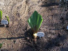 10. Angießen - Angießen einer frisch eingepflanzten Schwertlilie - iriszucht.de
