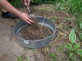 3. In ein Sieb geben - Die Zwiebeln werden dem Beet entnommen und in ein Sieb gegeben - iriszucht.de