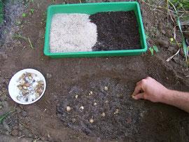 9. Einsetzen - Die Zwergschwertlilien werdn einfach in die vorbereitete Erde gesteckt - iriszucht.de