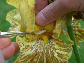 4. Pollenübertragung - Abstreifen des Pollens einer Schwertlilie auf dem Stigma einer anderen Schwertlilie - iriszucht.de