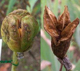 9. Öffnen - Nun beginnt die Saatkapsel der Schwertlilie sich auf das für ihren Fruchttyp typische Streuen vorzubereiten - iriszucht.de