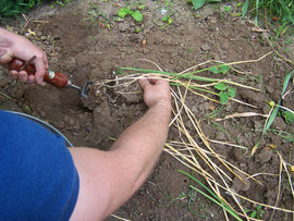 2. Aufnahme der Zwiebeln - Graben Sie die Zwiebeln vorsichtig aus - iriszucht.de