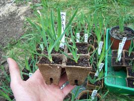 15. Pikieren - Ab einer Größe von 2cm können die Sämlinge in Töpfe gepflanzt werden - iriszucht.de
