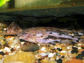 Kopfstrichdornwels (Amblydoras hancocki)