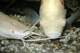 Froschwels und Astronotus ocellatus (Pfauenaugenbuntbarsch)