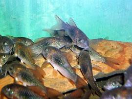 Corydoras-Schwarm
