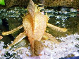 Goldancistrus albino (Ancistrus sp.)