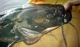 Flathead Catfish (Pylodictis olivaris)