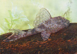 Hypostomus spec.