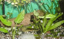 Heterandria formosa (Zwergkärpfling)