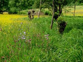 Typische Feuchtwiesenflora: Bachnelkenwurz und Kuckuckslichtnelke