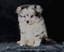 Pomeranian Hündin Heidi von der Arnold's Eiche.