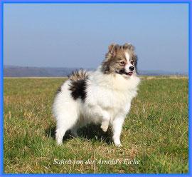 Pomeranian Hündin Fafira von der Arnold's Eiche.