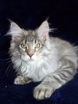 Maine Coon, blue silver mackerel tabby