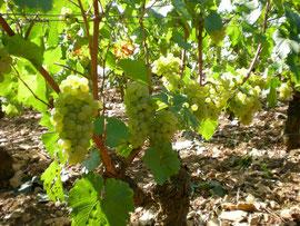 Chardonnay/Meursault