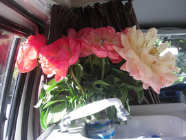 Fresh peonies in our campervan