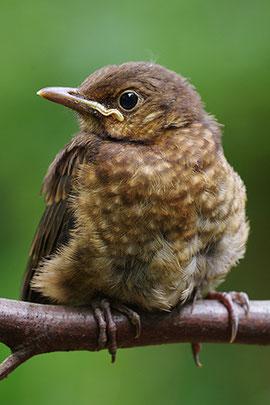 Amseljunges verwaiste Jungvögel Tierkinder NABU Düren