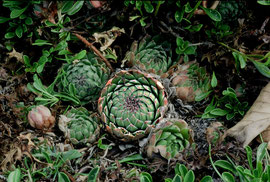 Sempervivum riccii bzw. S. tectorum, Vallelonga-Gebiet, Abruzzen, in situ, Foto: Mariangela Costanzo, alle Rechte vorbehalten