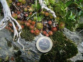 Wesentlich kleinere Rosetten von S. globiferum, sie haben die erwartete Größe des Taxons arenarium, östl. Karnischer Hauptkamm, in situ, 22.06.2011. Foto: Manuel Werner
