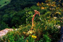 Blühendes Sempervivum tectorum (MWS0002) auf dem Felskopf eines Felspfeilers, der dem Felsabbruch vorgelagert ist, in situ.