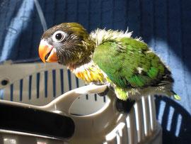 Agapornis en su fauna box